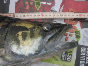 Denna gös vägde 5 kg och fångades av Björn Hildenwall 2012-08-03 vid 7 tiden på morgonen i sjön Mjörn.